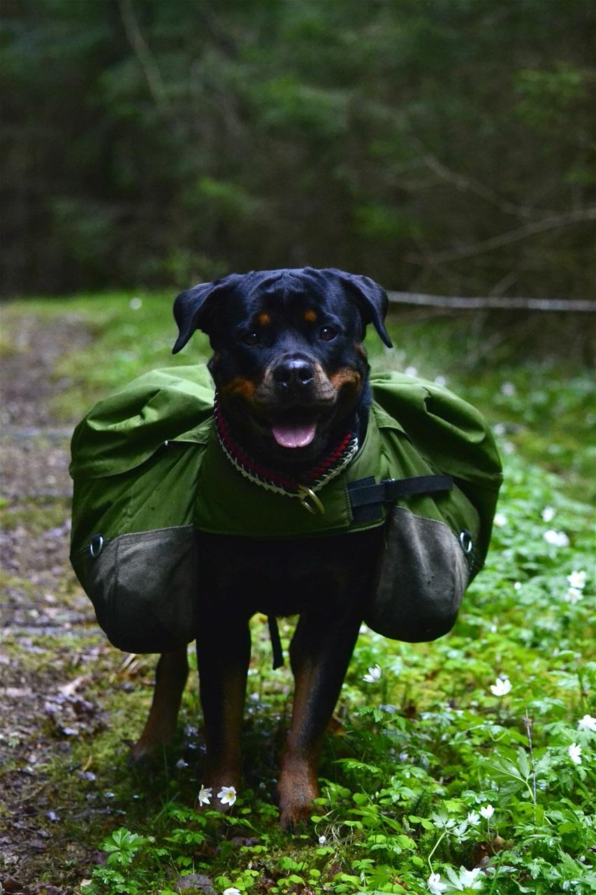 Bra klövjeväskor? Hundsport & Aktiviteter Hundar iFokus
